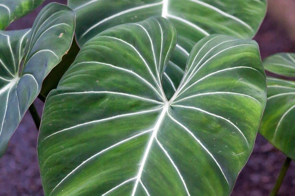 large green leaf plants
