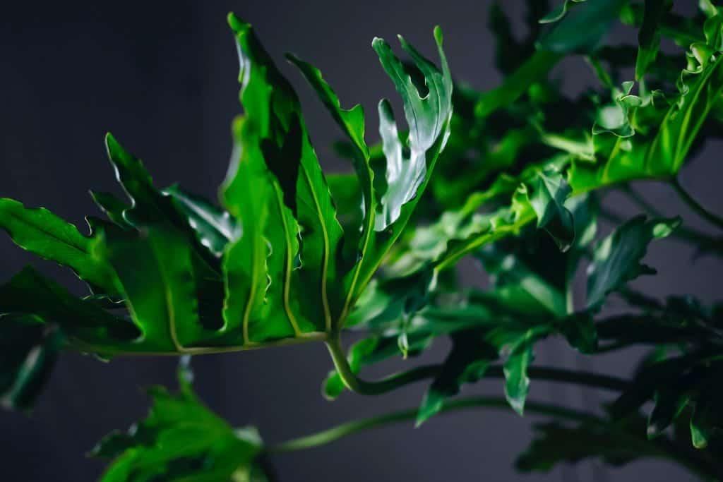 split leaf philodendron pruning