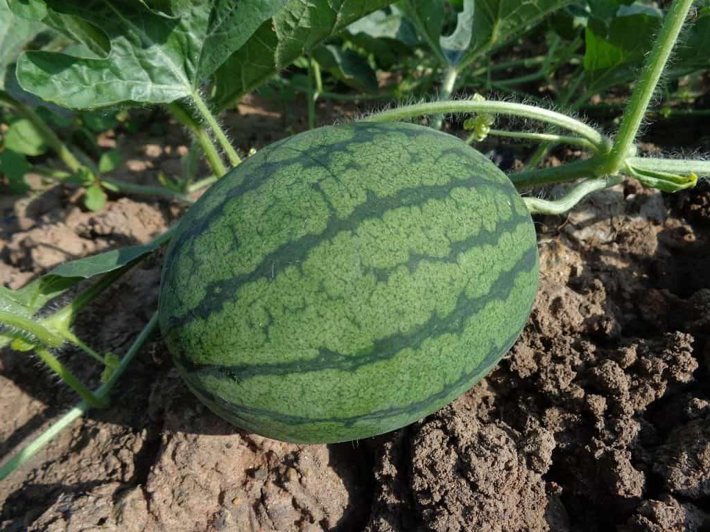 Square Foot Gardening Watermelon Spacing