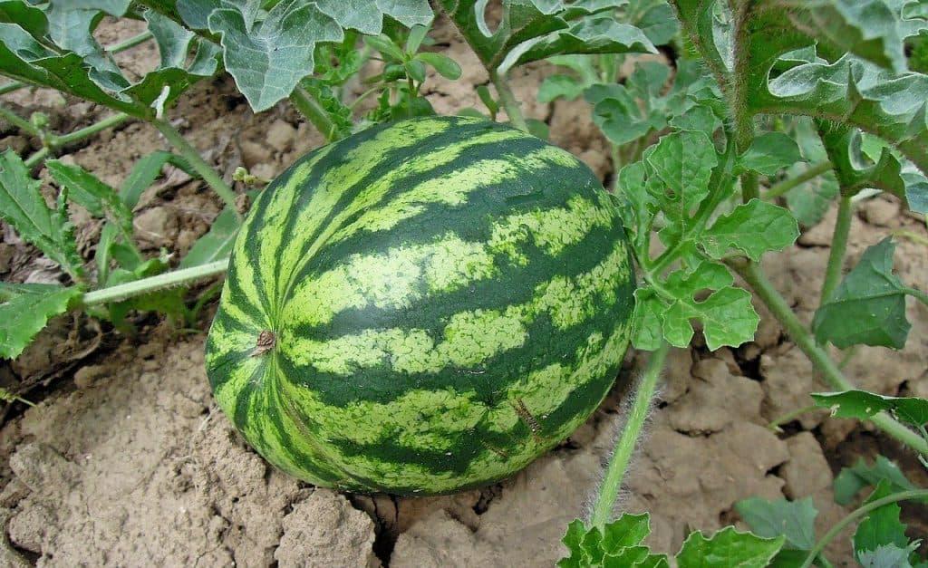 Square foot gardening watermelon fertilizer