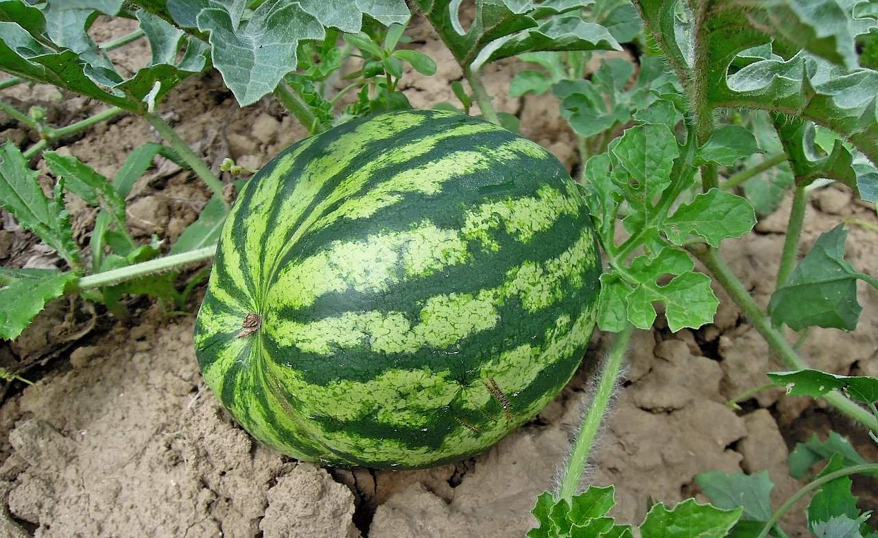 Watermelon square foot gardening