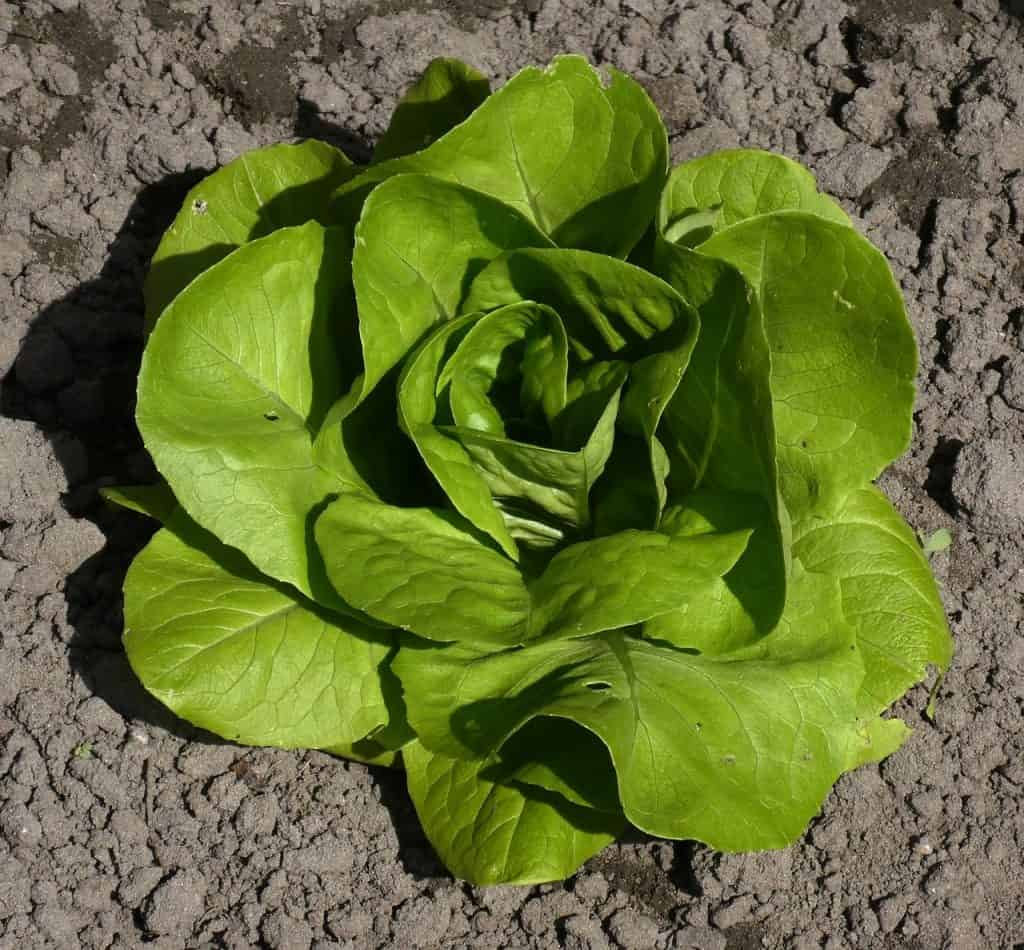Vegetables that grow above the ground lettuce