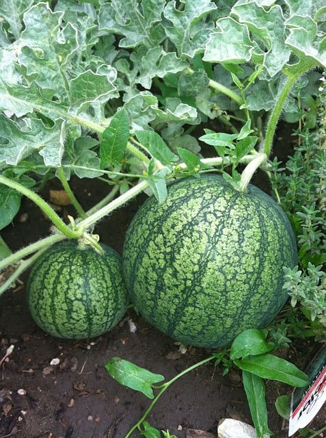 Watermelon square foot gardening growing Tips