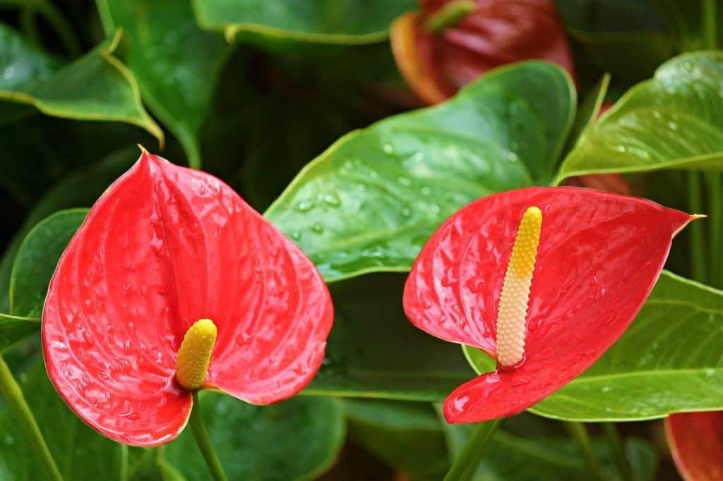 Anthurium indoor plant