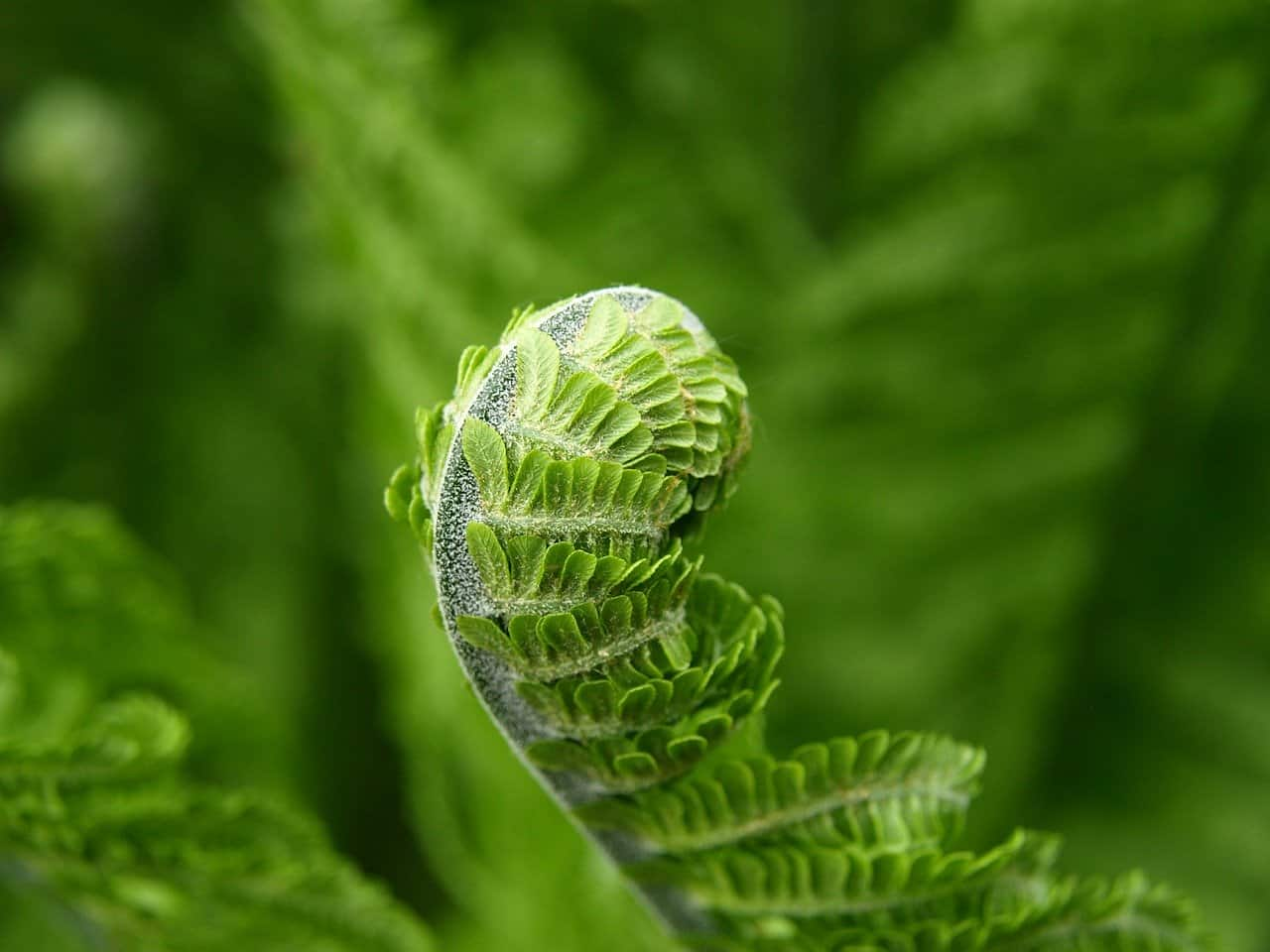 how to kill ferns in a garden