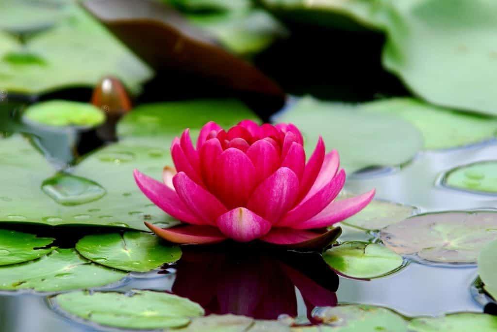 grow lotus in garden