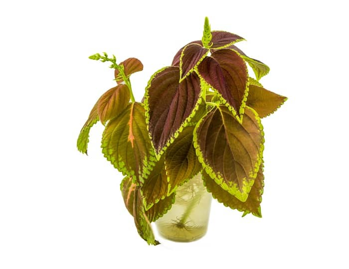 house plants you can grow in water