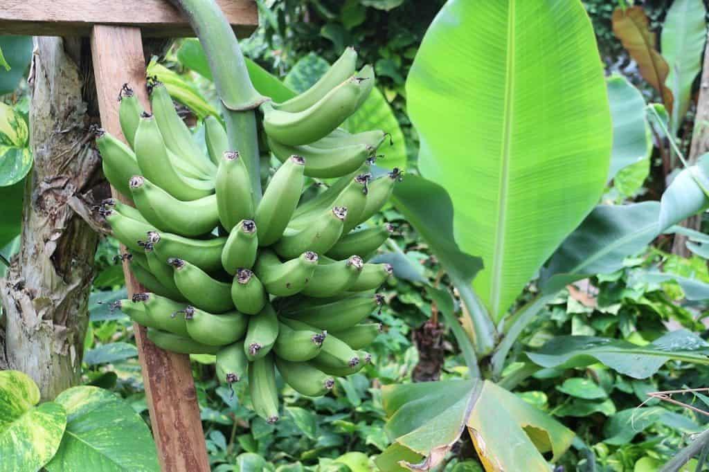 large leaf green plants banana plant