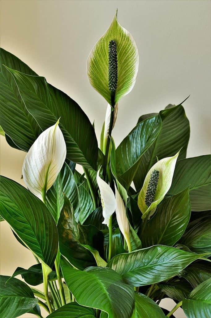 Lucky house plants