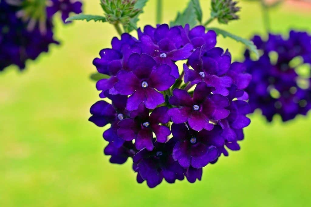plants for hanging baskets that hang over the basket