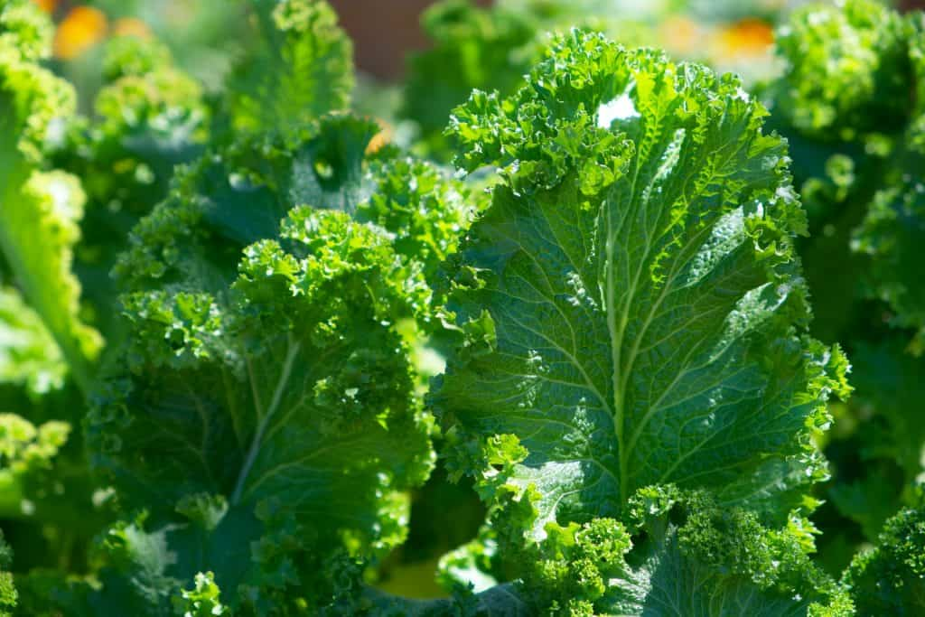 vegetables plants to grow in october kale