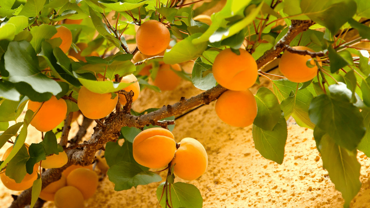Apricot tree care