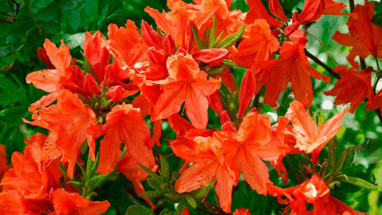 Azalea Plant growing tips