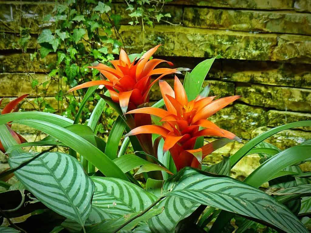 Bromeliad plants
