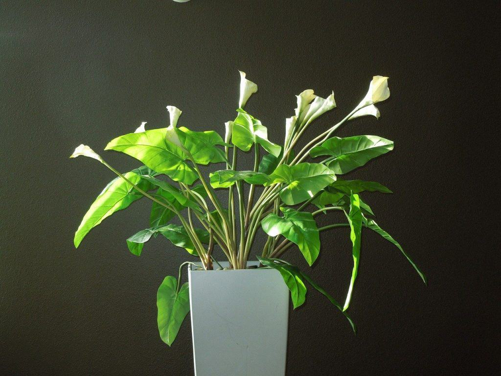 plant grow and care Calla Lilly