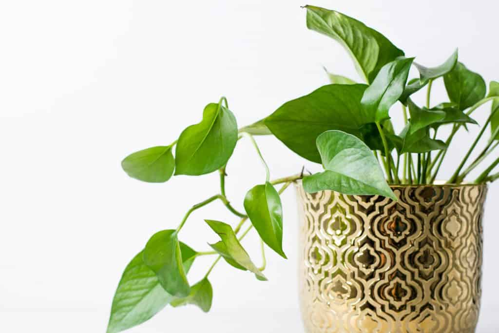Can Pothos Grow In Water 1