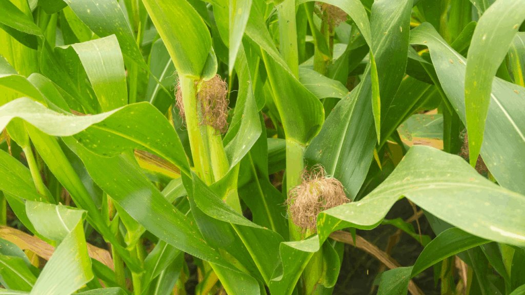 Corn Plant brown leaves tips