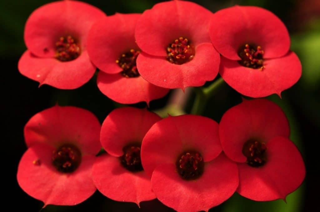 Indoor plants with red flowers Euphorbia Milii