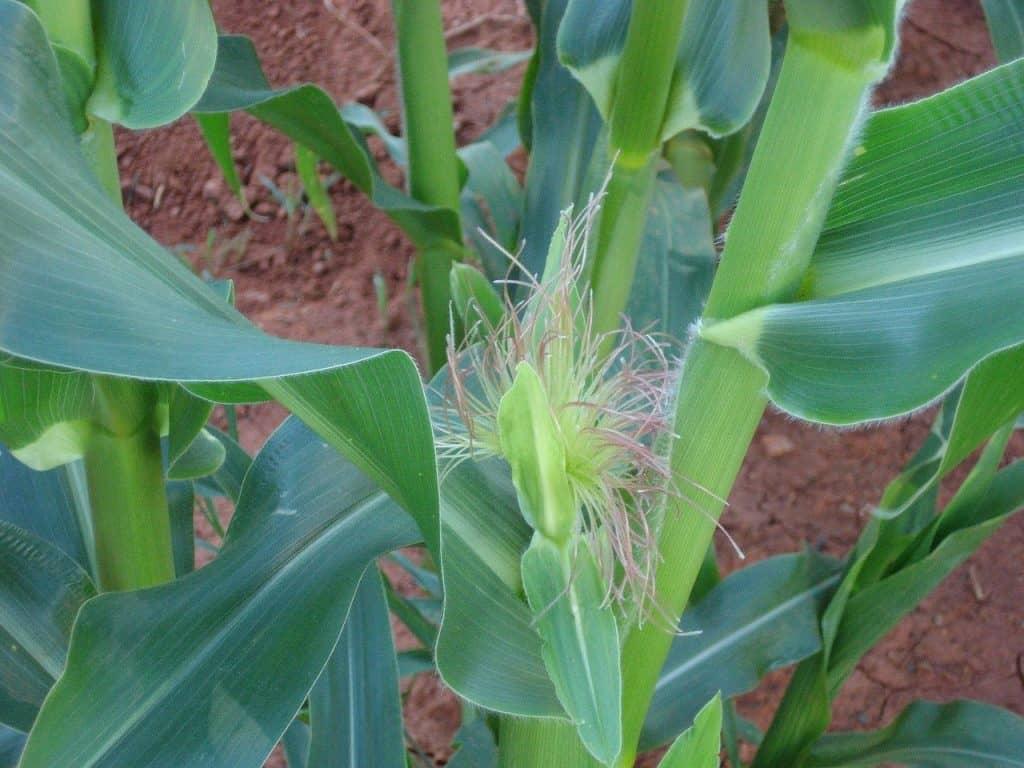Grow Corn in Square Foot Gardening