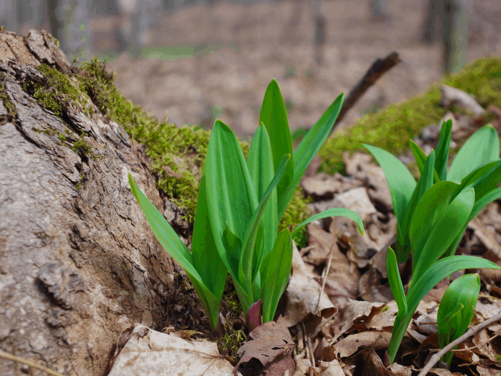 How to grow Ramps
