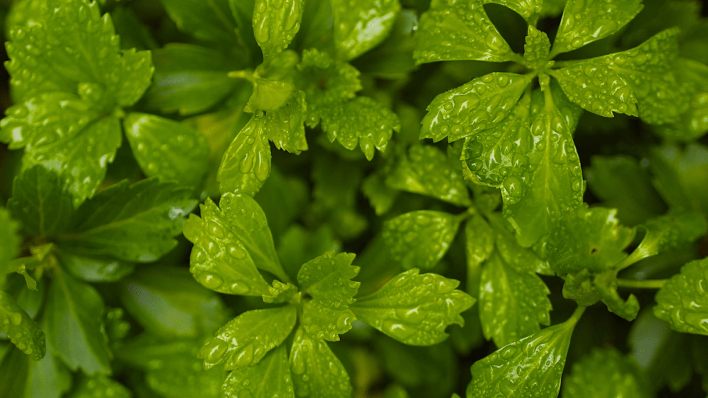 Pachysandra Plant caring tips
