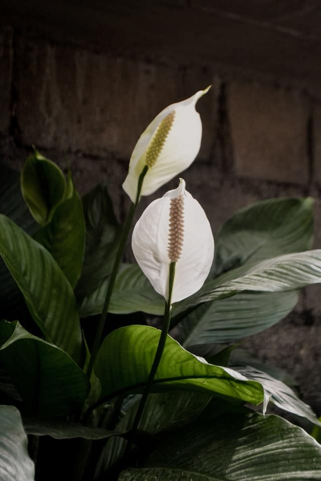 Peace lily brown leaves