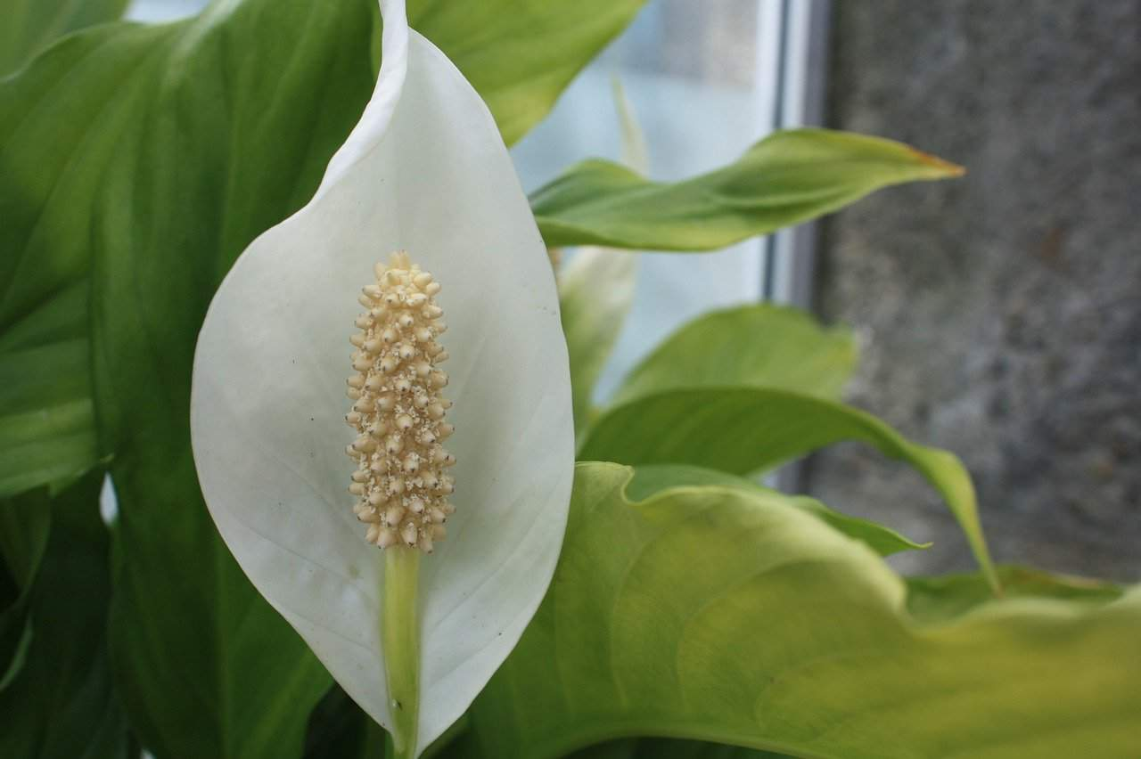 Peace lily brown or yellow leaves