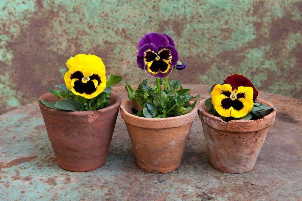 Plant Pansies