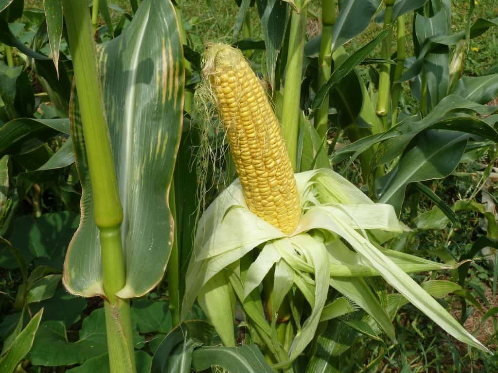 Planting Process to Grow Corn in Square Foot Gardening