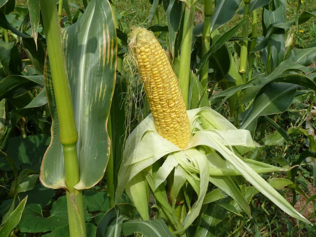 Grow Corn in Square Foot Gardening