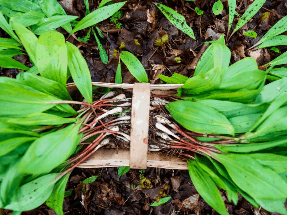 Ramps plant