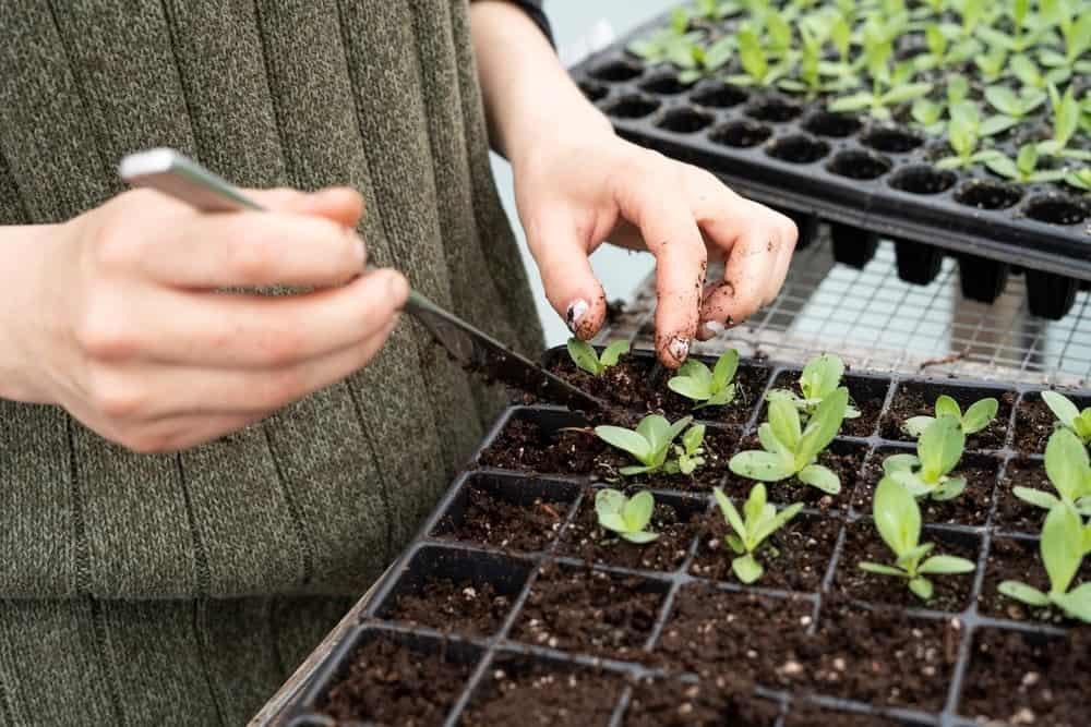 Planting Seedlings Indoors