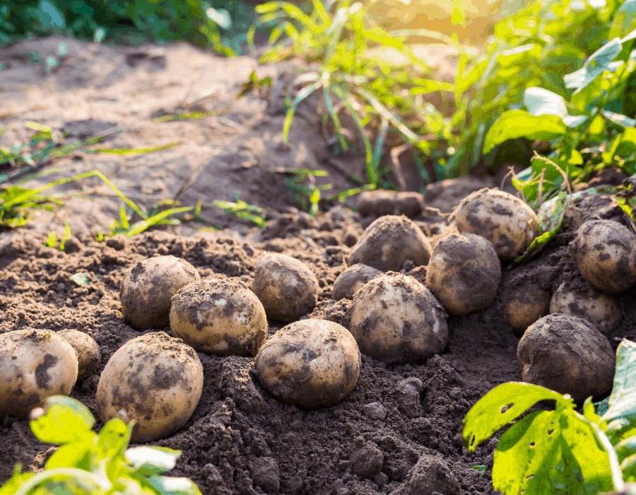 Square Foot Gardening Potatoes