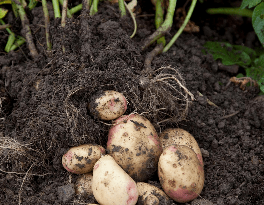 Square foot gardening for Potatoes