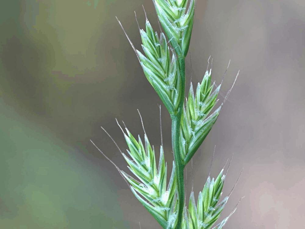 Types of Ryegrass