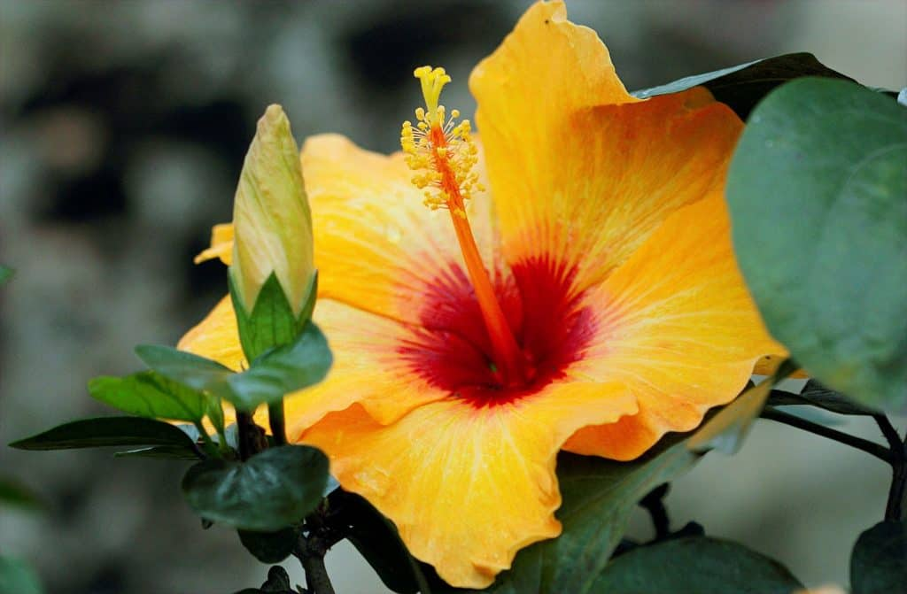 Varieties of Hibiscus