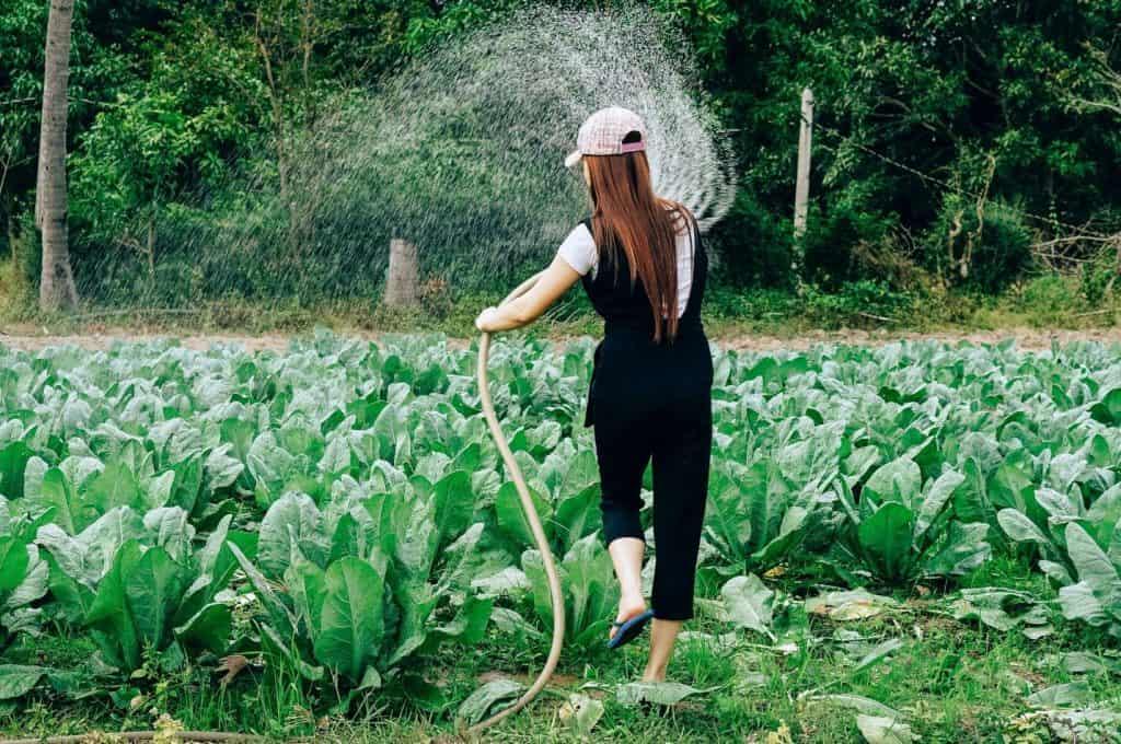 Spaghetti squash gardening tips