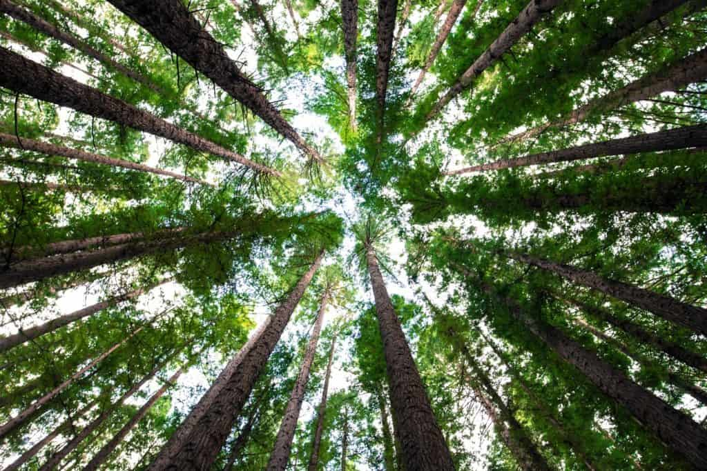 trees that release oxygen during the night