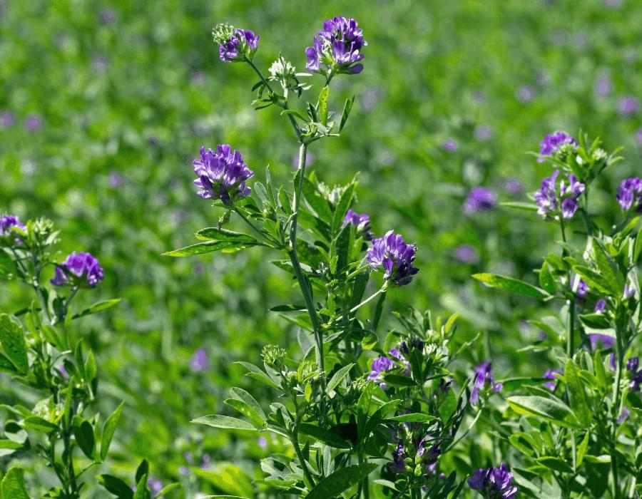 care for an Alfalfa Plant