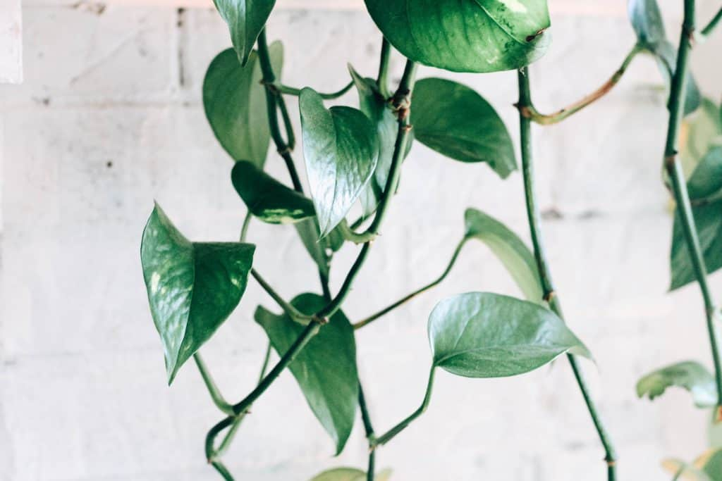 care for the Pothos plant 1