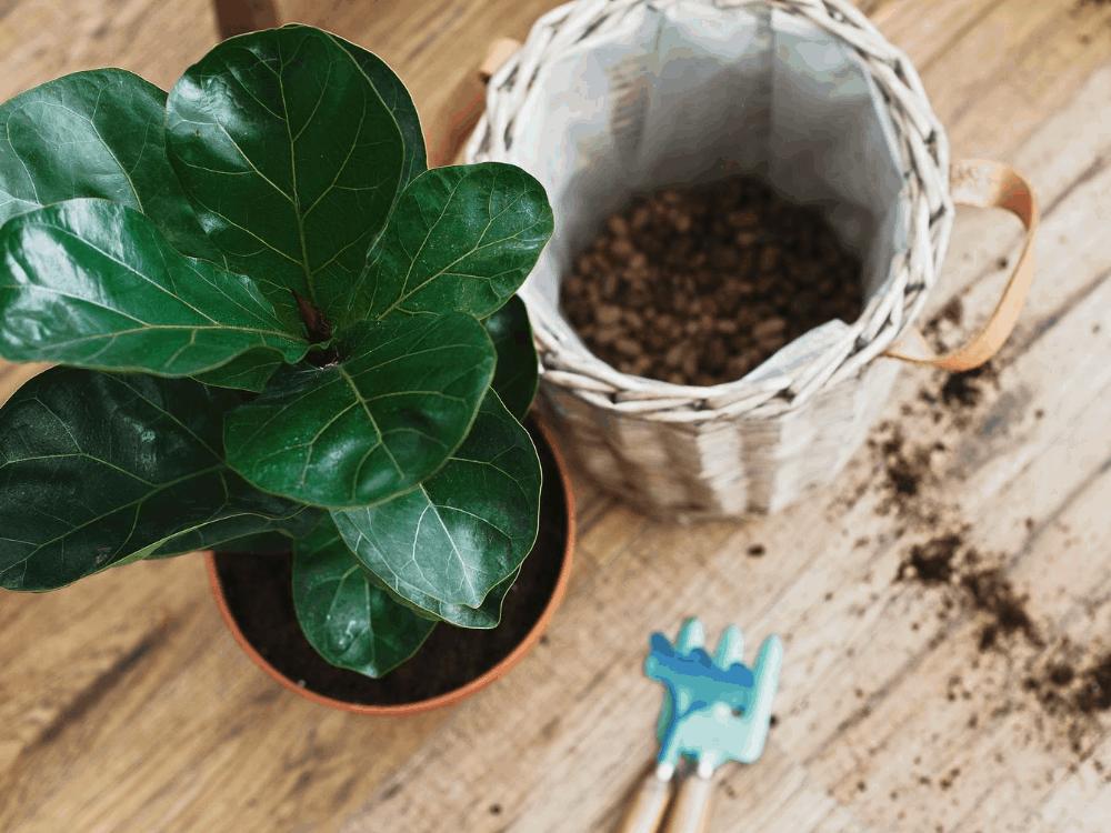 fiddle leaf fig brown spots on leaves
