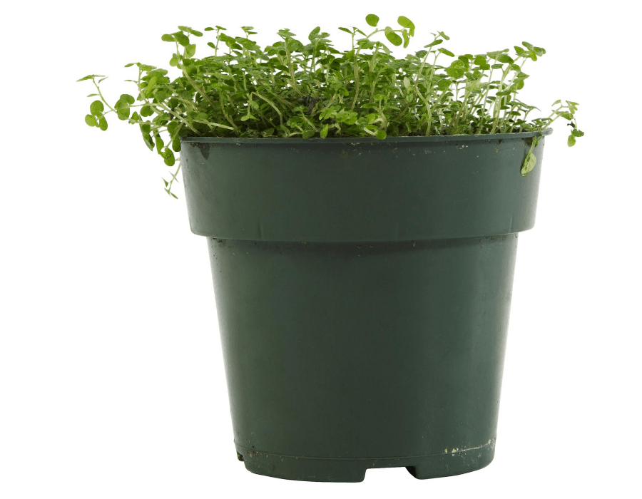 grow Alfalfa in a Pot