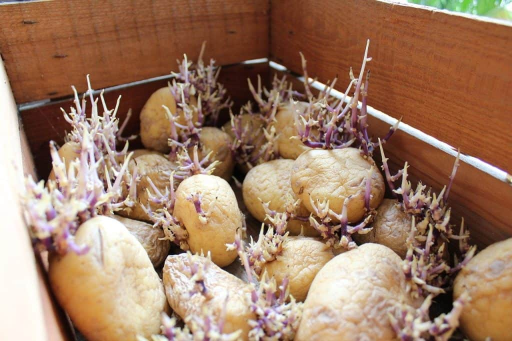 grow potatoes from potatoes