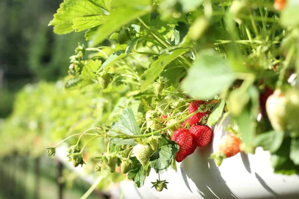 how long does it take to grow strawberries from seeds