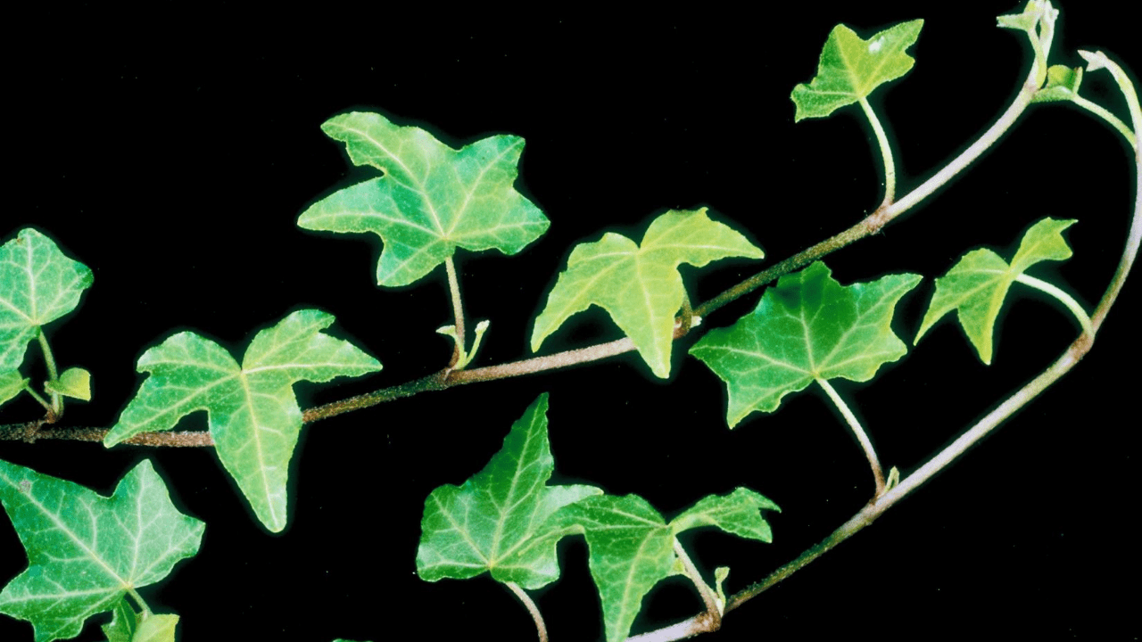 ivy plant growing and caring tips