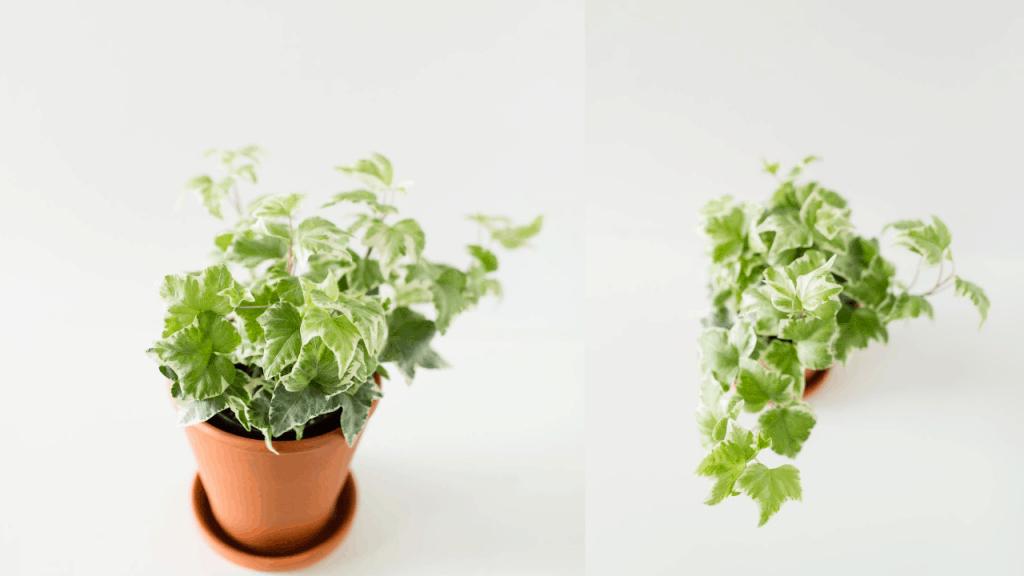 ivy plant caring plants
