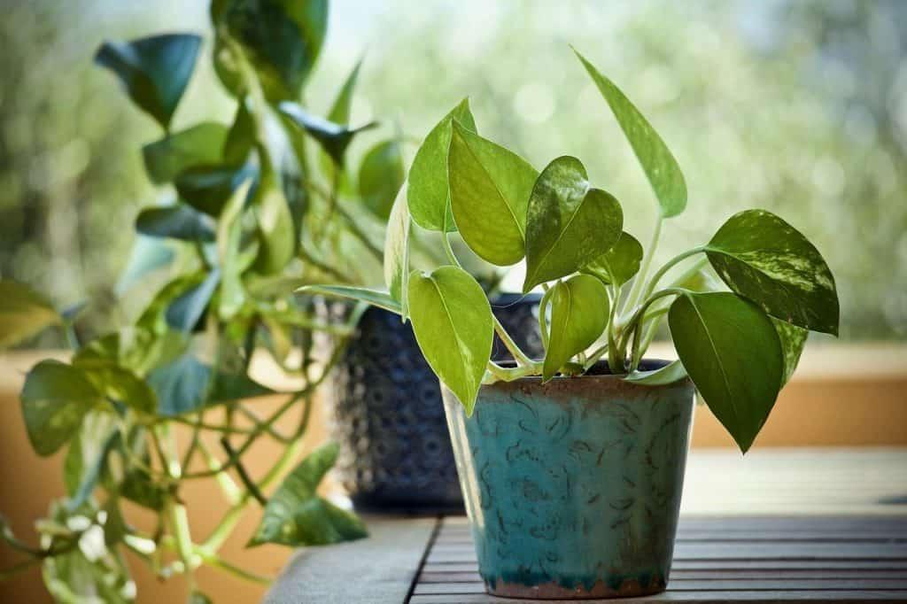 propagate Pothos plant in water