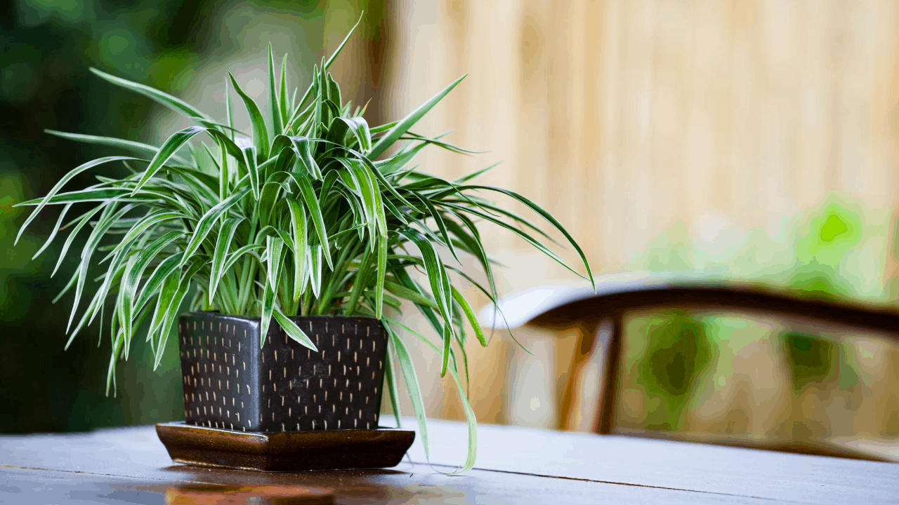 spider plant caring tips