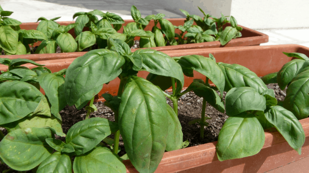 square foot gardening for basil steps