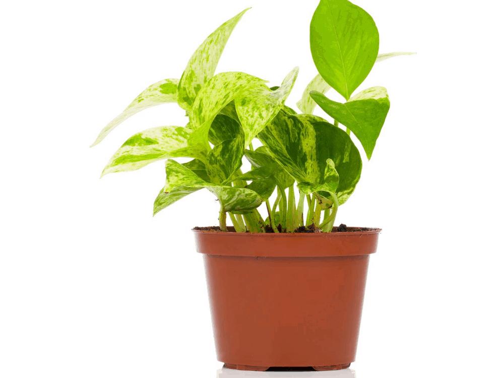 true low light houseplants small